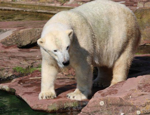 Tiergarten Nürnberg - Familienausflug - Eisbär