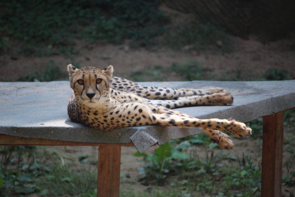 Tiergarten Nürnberg - Familienausflug - Gepard