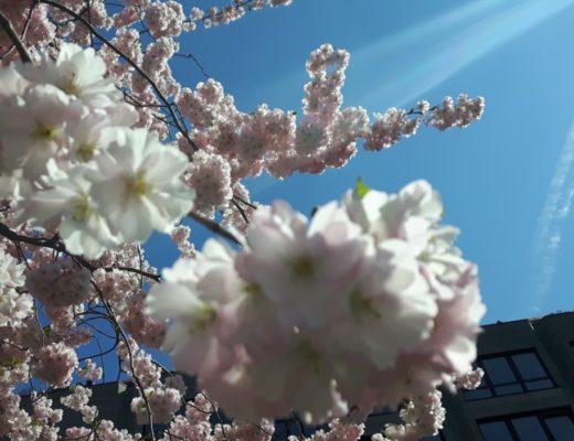Monatsrückblick - Frühling - Kirschblüte