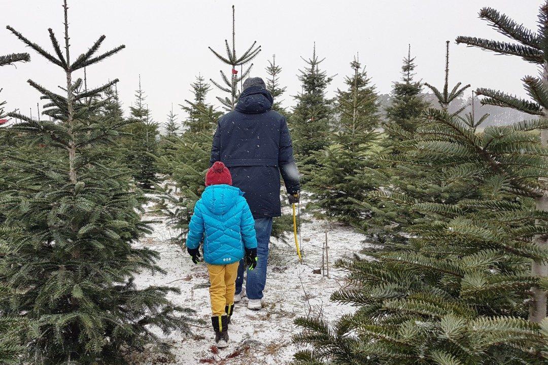 Weihnachtsbaum Natürlich.Unsere Neue Familientradition Wir Schlagen Unseren Weihnachtsbaum